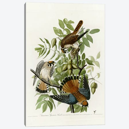 American Sparrow Hawk Canvas Print #VAC283} by Vintage Apple Collection Canvas Art Print