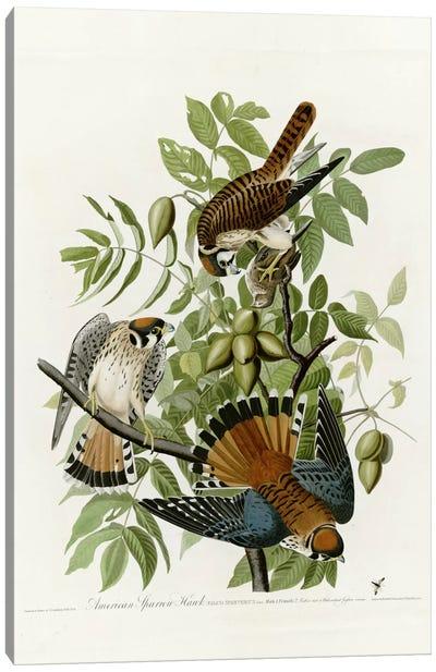 American Sparrow Hawk Canvas Print #VAC283