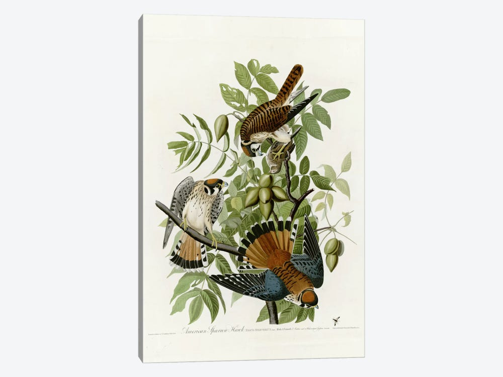 American Sparrow Hawk by Vintage Apple Collection 1-piece Canvas Artwork