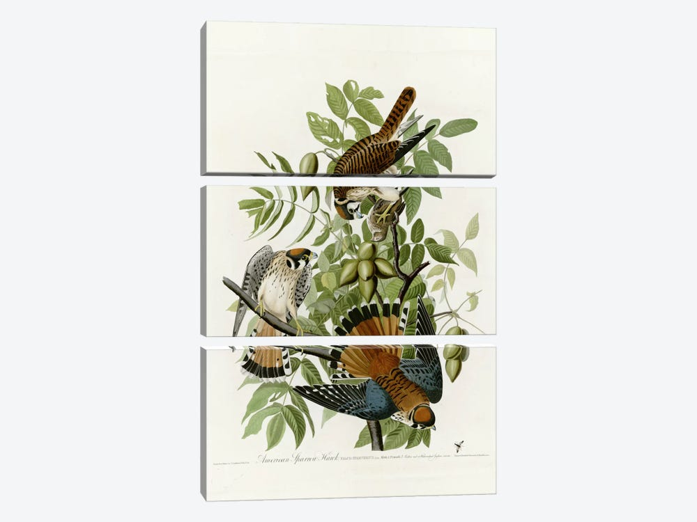 American Sparrow Hawk by Vintage Apple Collection 3-piece Canvas Art