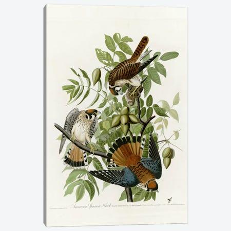 American Sparrow Hawk Canvas Print #VAC283} by Vintage Apple Collection Canvas Art Print