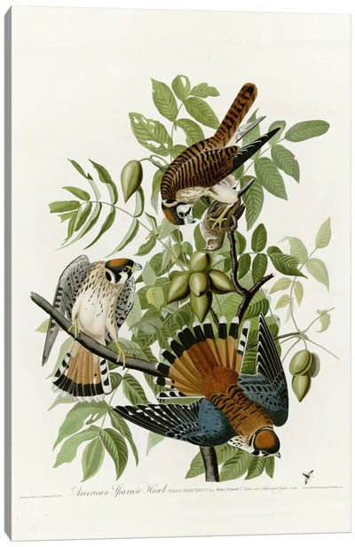 American Sparrow Hawk Canvas Art Print