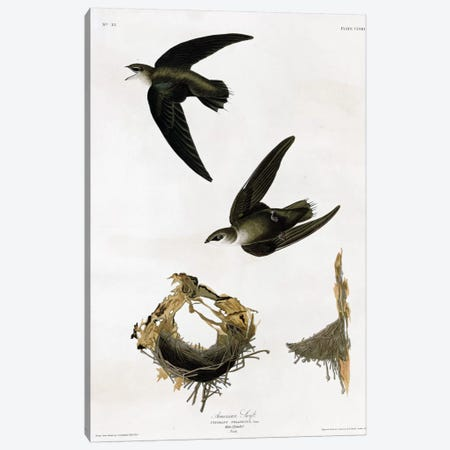American Swift Canvas Print #VAC284} by Vintage Apple Collection Canvas Artwork