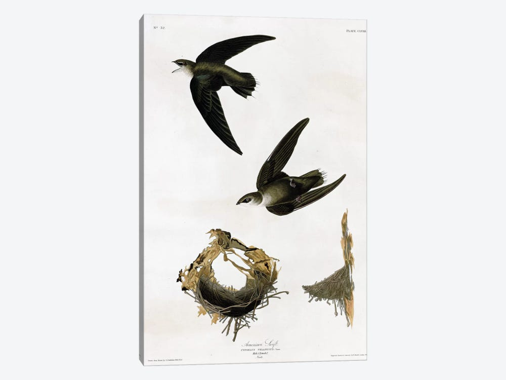 American Swift by Vintage Apple Collection 1-piece Canvas Art Print