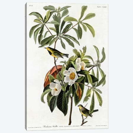 Bachmans Warbler Canvas Print #VAC287} by Vintage Apple Collection Canvas Wall Art