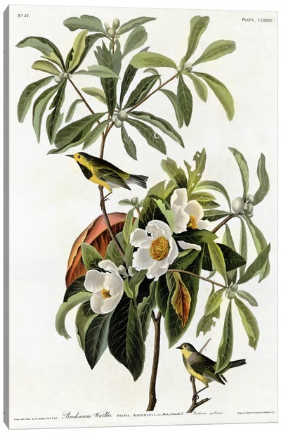 Bachmans Warbler Canvas Print #VAC287