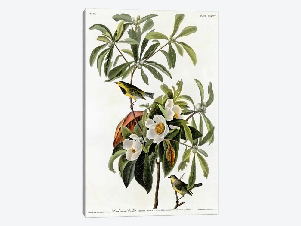Bachmans Warbler by Vintage Apple Collection 1-piece Canvas Art