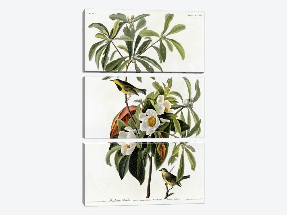 Bachmans Warbler by Vintage Apple Collection 3-piece Canvas Wall Art