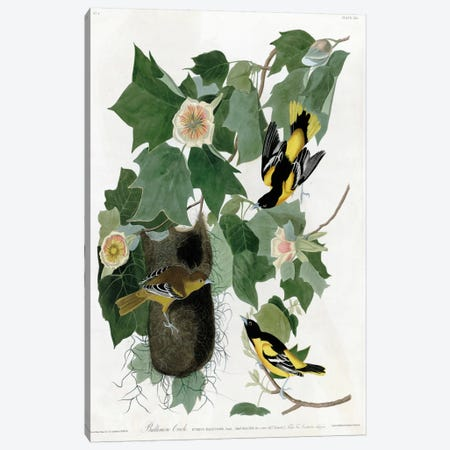 Baltimore Oriole Canvas Print #VAC288} by Vintage Apple Collection Canvas Print