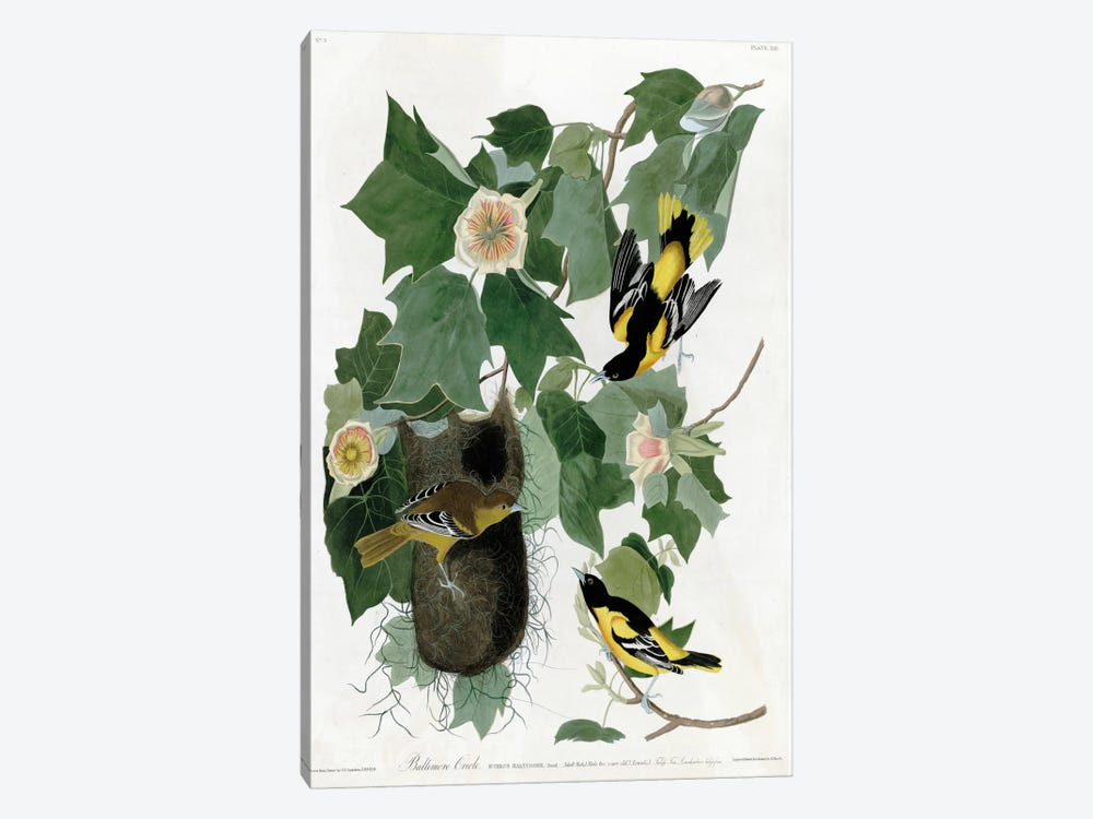Baltimore Oriole by Vintage Apple Collection 1-piece Art Print