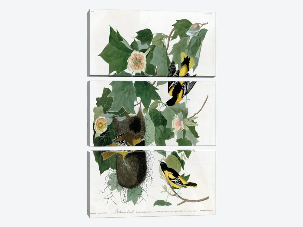 Baltimore Oriole by Vintage Apple Collection 3-piece Art Print
