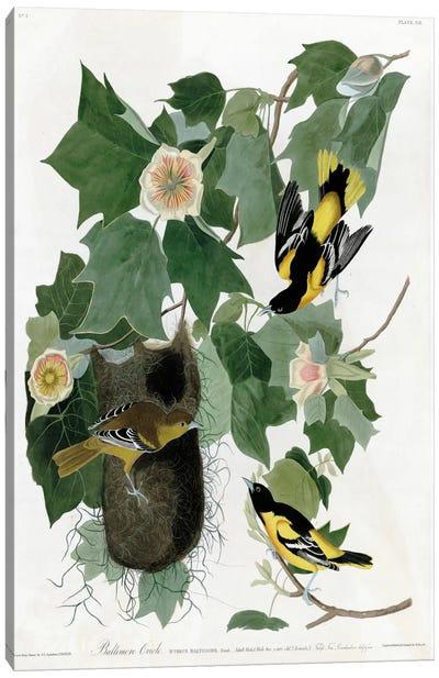 Baltimore Oriole Canvas Art Print