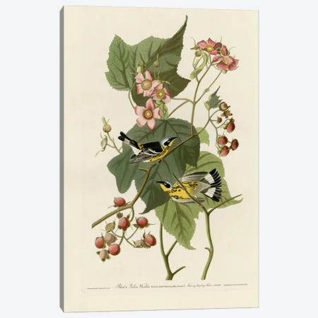 Black And Yellow Warblers Canvas Print #VAC295} by Vintage Apple Collection Canvas Print