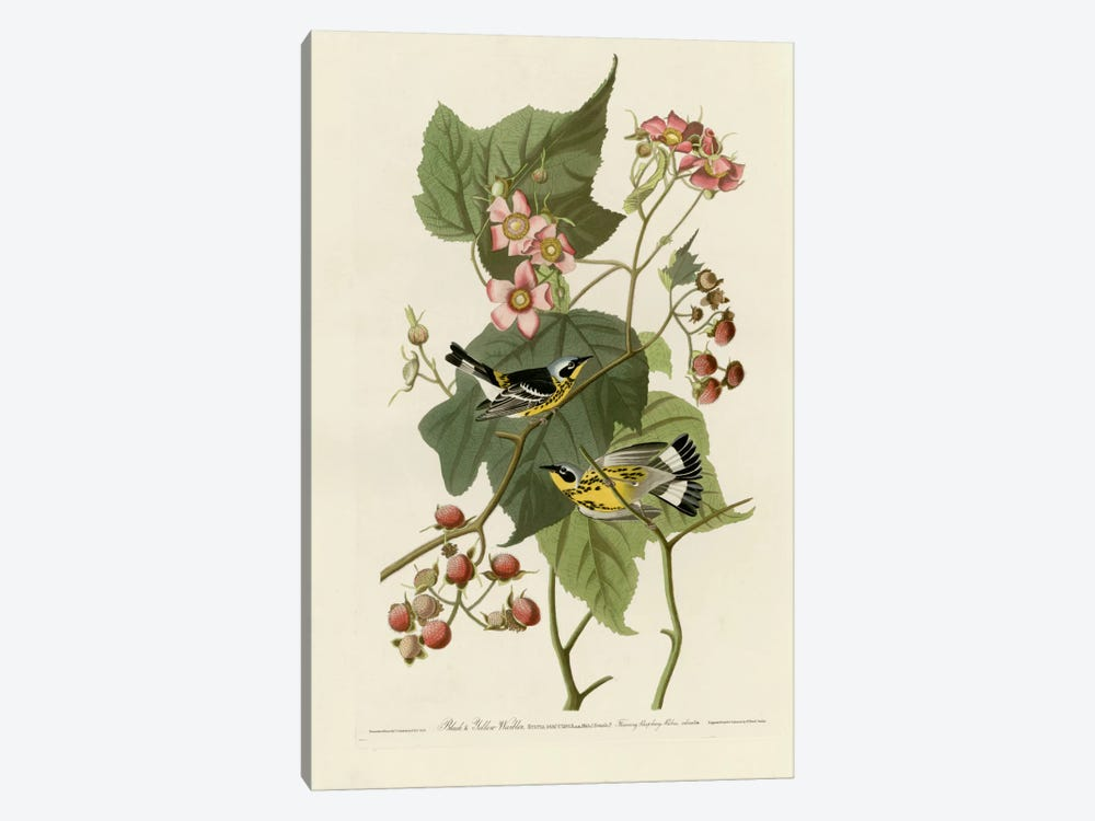 Black And Yellow Warblers by Vintage Apple Collection 1-piece Canvas Art Print