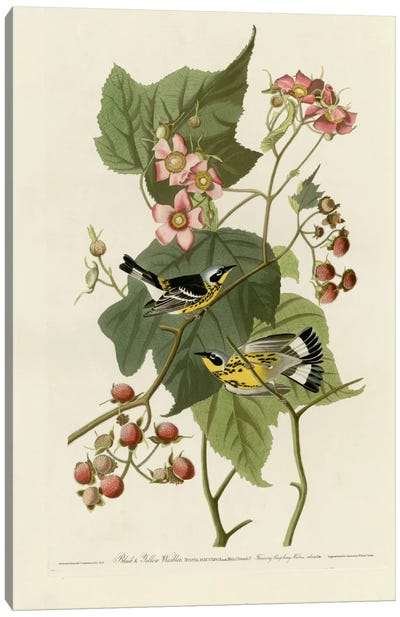 Black And Yellow Warblers Canvas Art Print