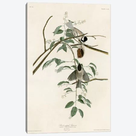 Black Capped Titmouse Canvas Print #VAC296} by Vintage Apple Collection Canvas Print