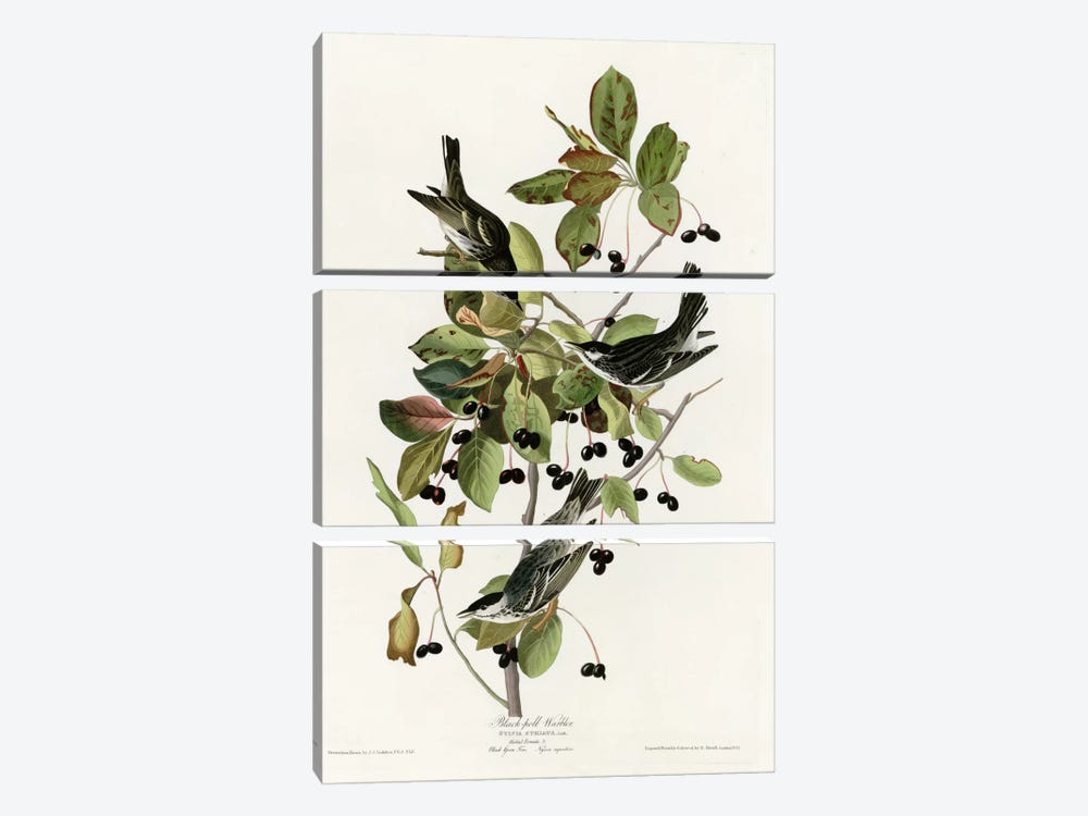 Black Poll Warbler by Vintage Apple Collection 3-piece Canvas Art Print