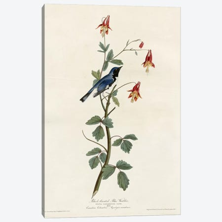 Black Throated Blue Warbler Canvas Print #VAC298} by Vintage Apple Collection Canvas Wall Art