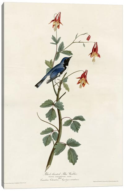 Black Throated Blue Warbler Canvas Print #VAC298