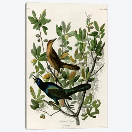 Boat Tailed Grackle Canvas Print #VAC305} by Vintage Apple Collection Canvas Art Print