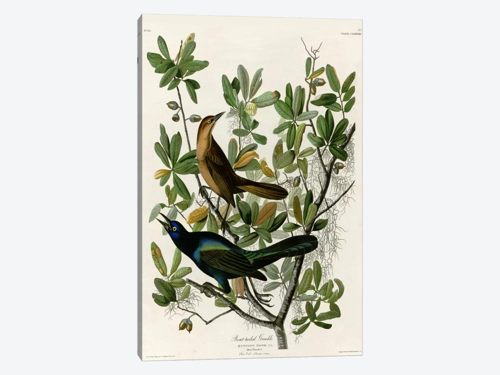 Boat Tailed Grackle by Vintage Apple Collection 1-piece Art Print