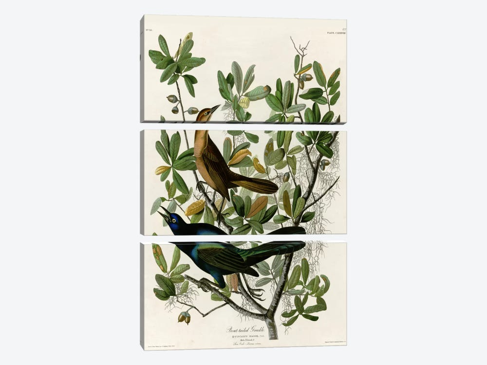 Boat Tailed Grackle 3-piece Canvas Art Print