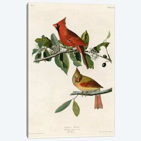 Cardinal Grosbeak Canvas Print #VAC309} by Vintage Apple Collection Canvas Wall Art