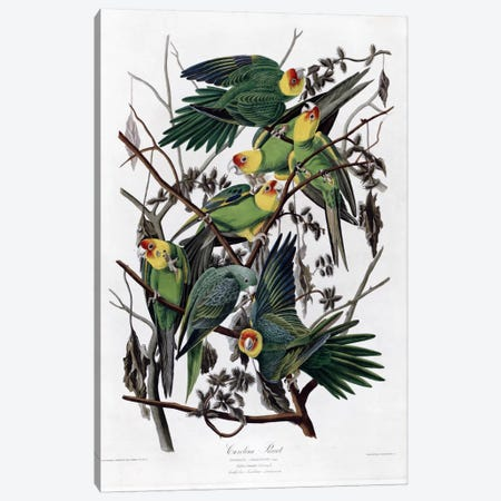 Carolina Parrot Canvas Print #VAC310} by Vintage Apple Collection Art Print