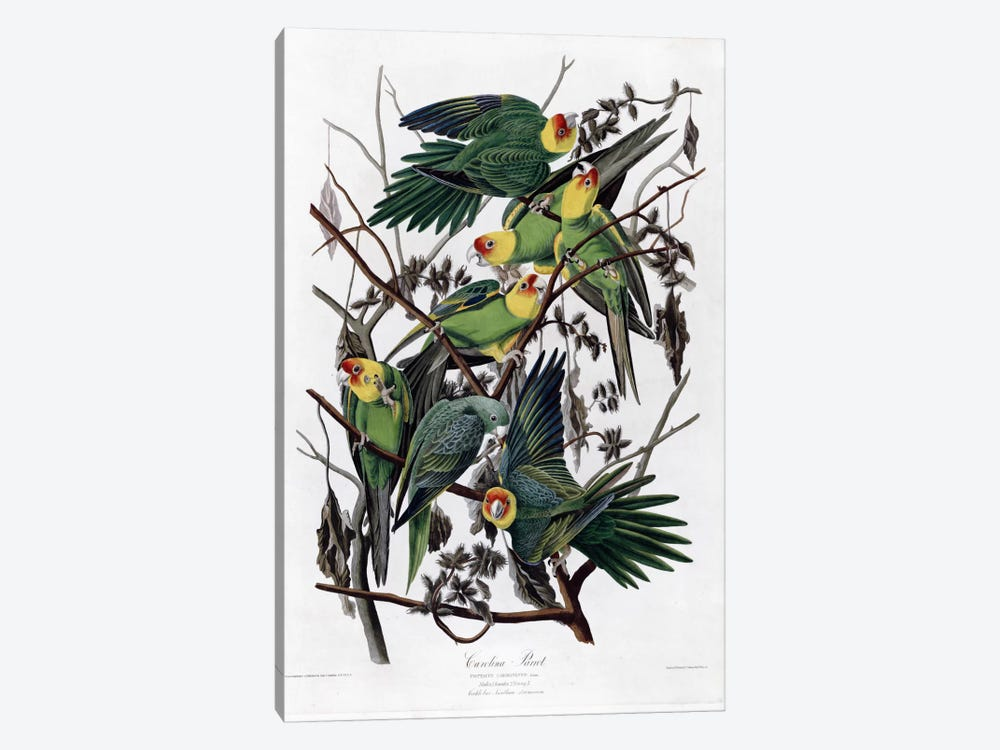 Carolina Parrot by Vintage Apple Collection 1-piece Art Print