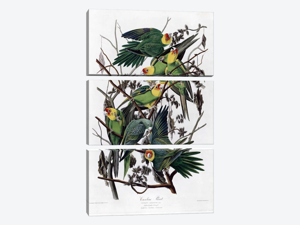 Carolina Parrot by Vintage Apple Collection 3-piece Art Print