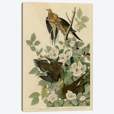 Carolina Turtledove Canvas Print #VAC311} by Vintage Apple Collection Canvas Print