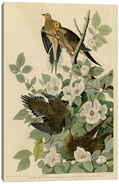 Carolina Turtledove Canvas Art Print