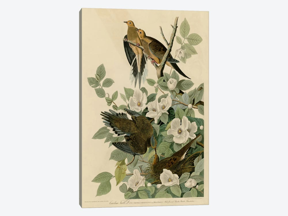 Carolina Turtledove by Vintage Apple Collection 1-piece Canvas Art