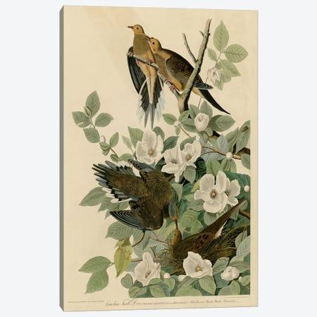 Carolina Turtledove Canvas Print #VAC311} by Vintage Apple Collection Canvas Print