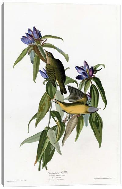 Connecticut Warbler Canvas Art Print