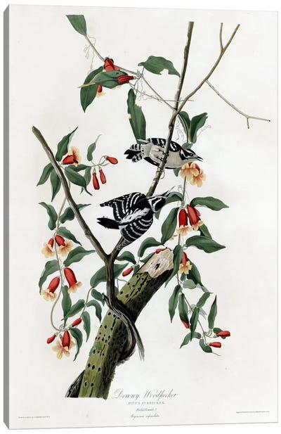 Downy Woodpecker Canvas Print #VAC317