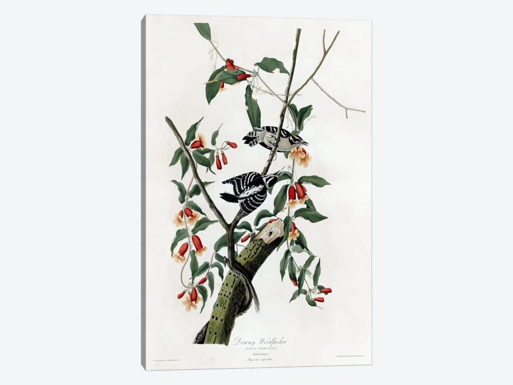Downy Woodpecker by Vintage Apple Collection 1-piece Canvas Wall Art
