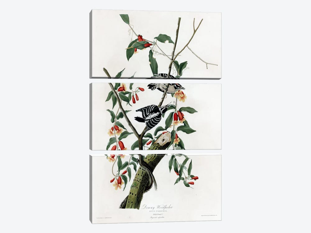 Downy Woodpecker by Vintage Apple Collection 3-piece Canvas Artwork