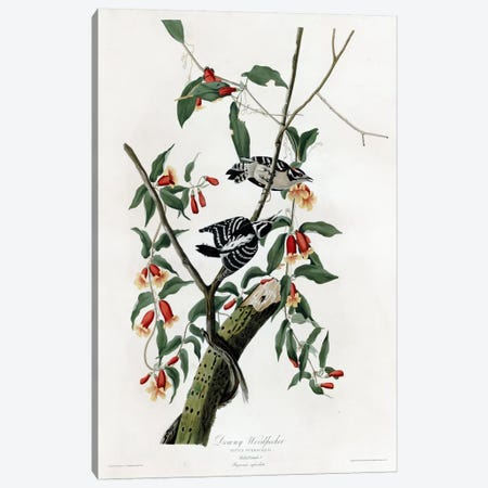 Downy Woodpecker Canvas Print #VAC317} by Vintage Apple Collection Canvas Art