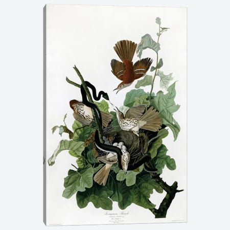 Ferruginous Thrush Canvas Print #VAC318} by Vintage Apple Collection Canvas Art Print