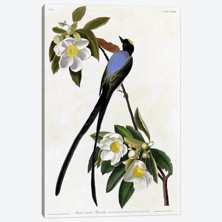 Fork Tailed Flycatcher Canvas Print #VAC321} by Vintage Apple Collection Canvas Artwork