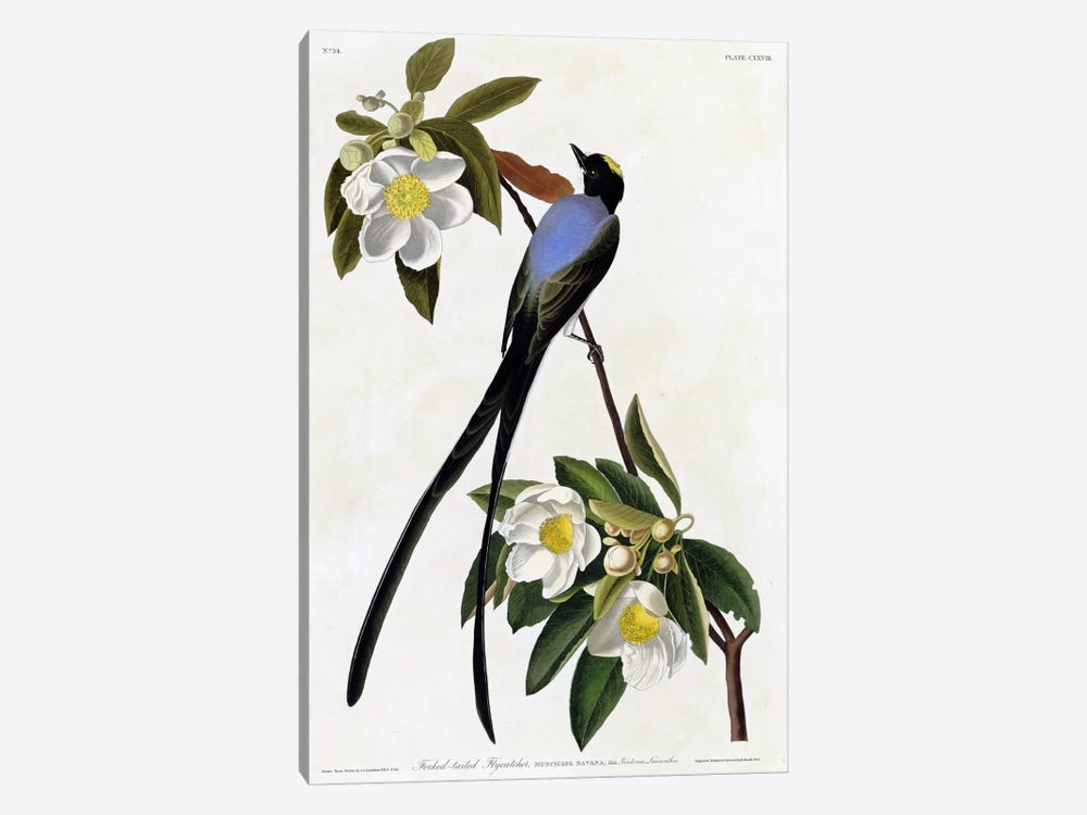 Fork Tailed Flycatcher by Vintage Apple Collection 1-piece Art Print