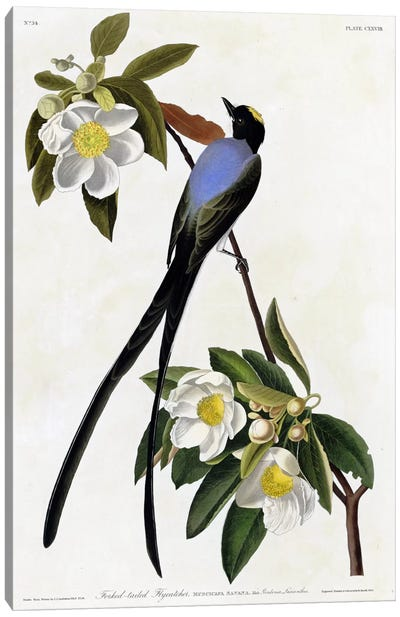 Fork Tailed Flycatcher Canvas Art Print