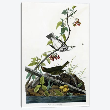 Golden Crowned Thrush Canvas Print #VAC324} by Vintage Apple Collection Canvas Print