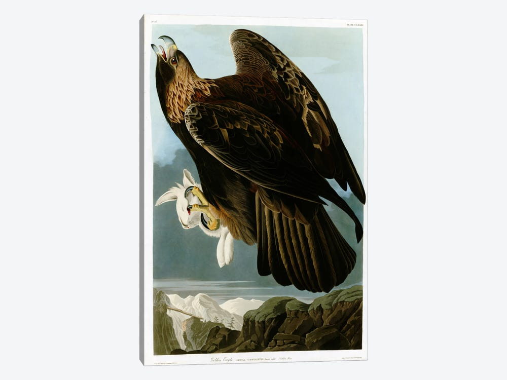 Golden Eagle by Vintage Apple Collection 1-piece Canvas Art Print