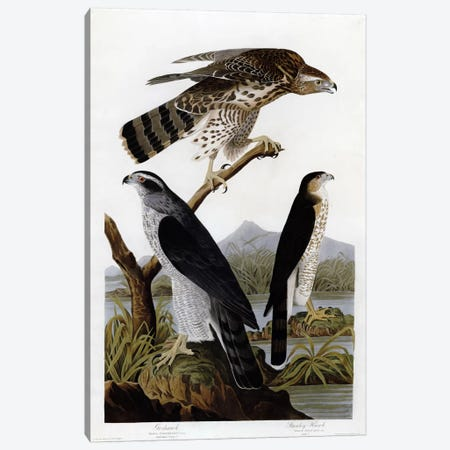 Goshawk Stanley Hawk Canvas Print #VAC326} by Vintage Apple Collection Art Print