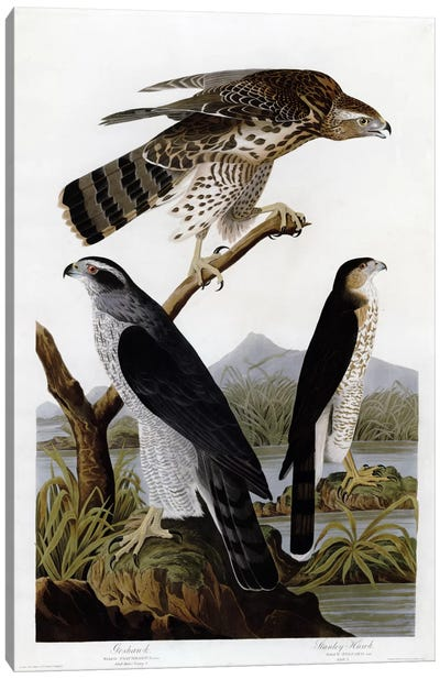 Goshawk Stanley Hawk Canvas Art Print