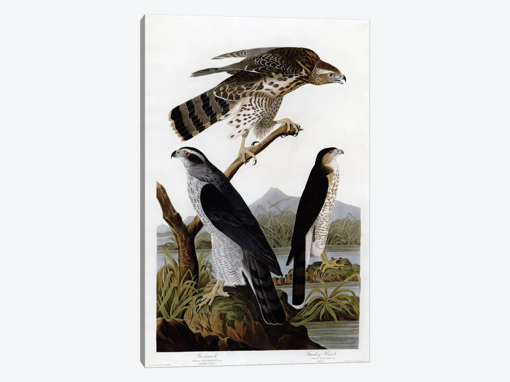 Goshawk Stanley Hawk by Vintage Apple Collection 1-piece Canvas Wall Art