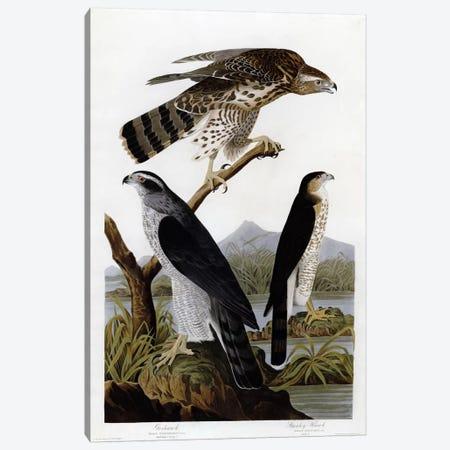 Goshawk Stanley Hawk Canvas Print #VAC326} by Vintage Apple Collection Art Print
