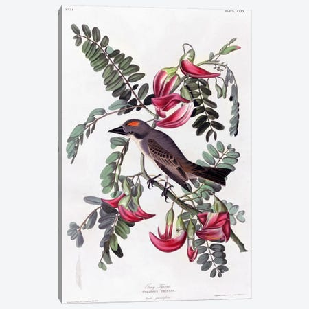 Gray Tyrant Flycatcher Canvas Print #VAC327} by Vintage Apple Collection Art Print